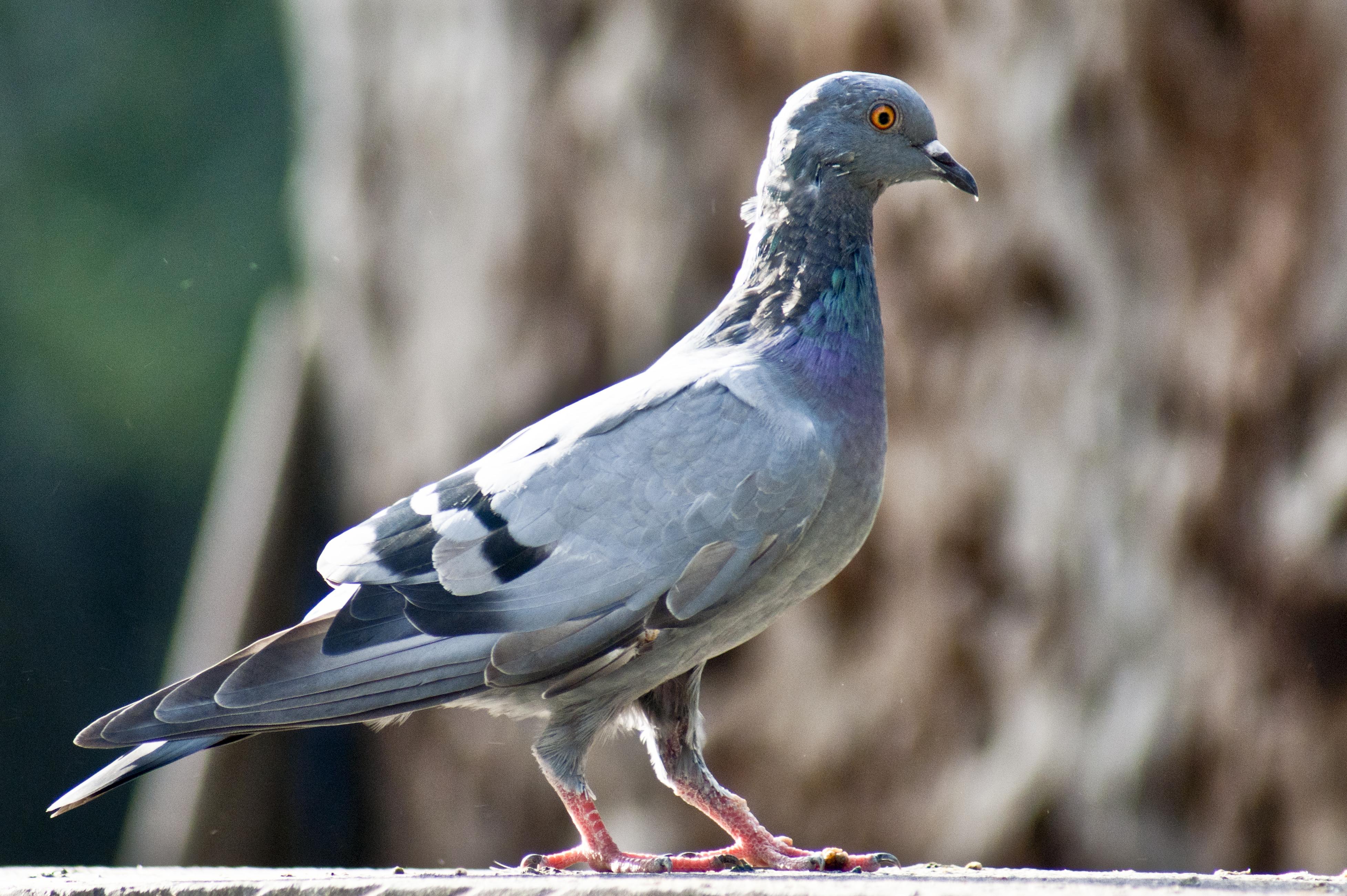 rüyada güvercin kesmek