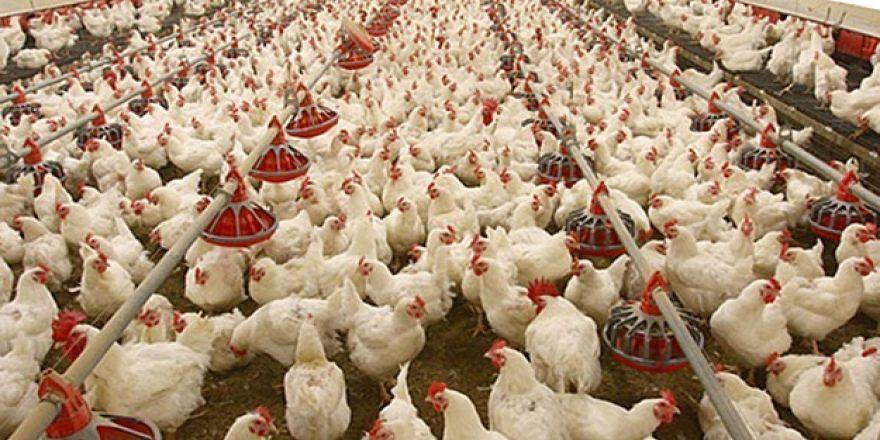 Rüyada Tavuk ve Horoz Beslediğini Görmek
