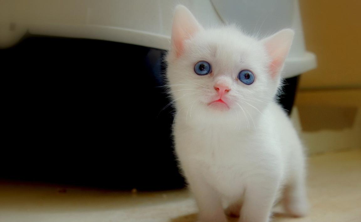 Rüyada Beyaz Renkli Kedi Yavrusu Görmek
