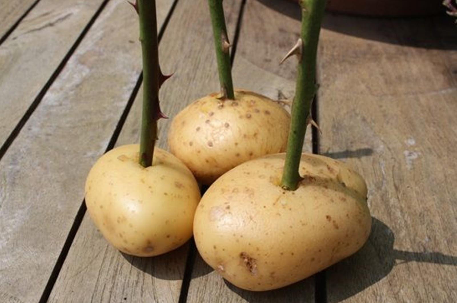 Rüyada Bahçede Topraktan Patates Çıkarmak