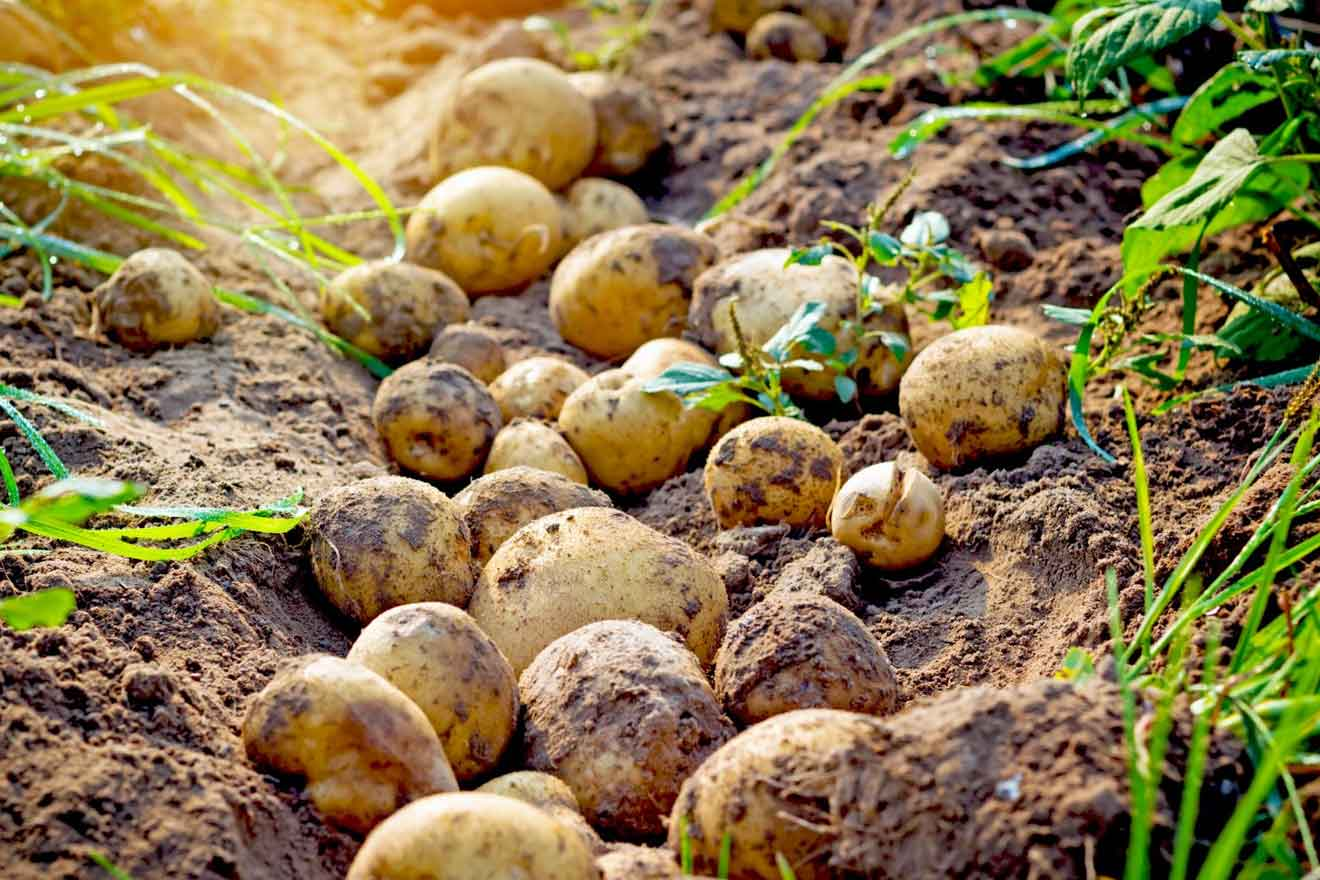 Rüyada Topraktan Patates Çıkarmak