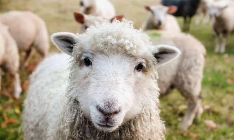Rüyada Adaklık Koyun Kesildiğini Görmek