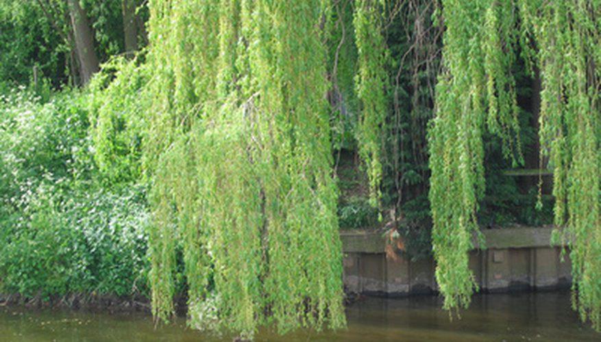 Rüyada Yaşlı Uzun Güzel Ağaçlar Ormanda Görmek