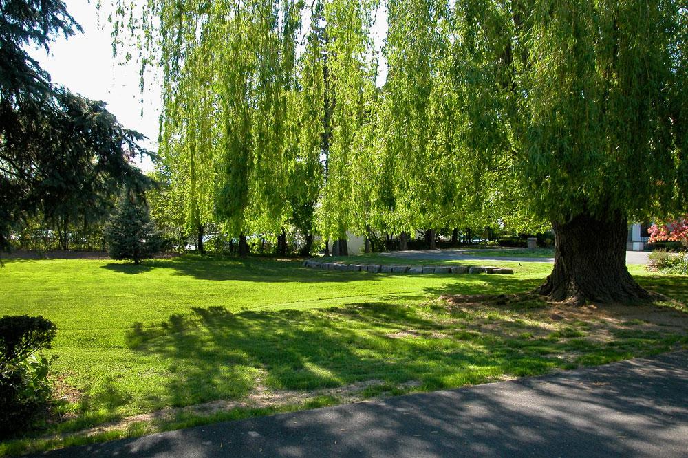 Rüyada Söğüt Ağacı Görmek ve Kesmek