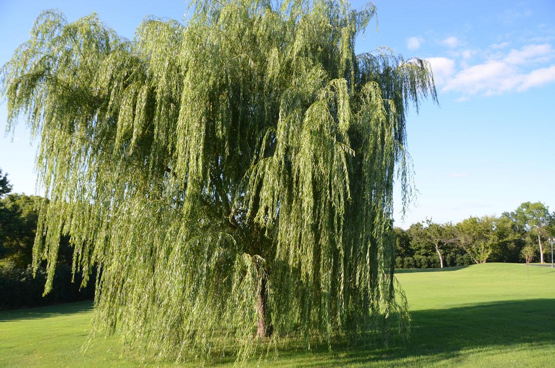 Rüyada Söğüt Ağacı Görmek