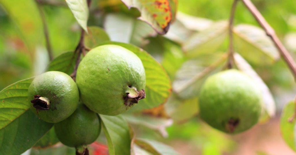 Rüyada Büyük Ağaçtan Meyve Yemek