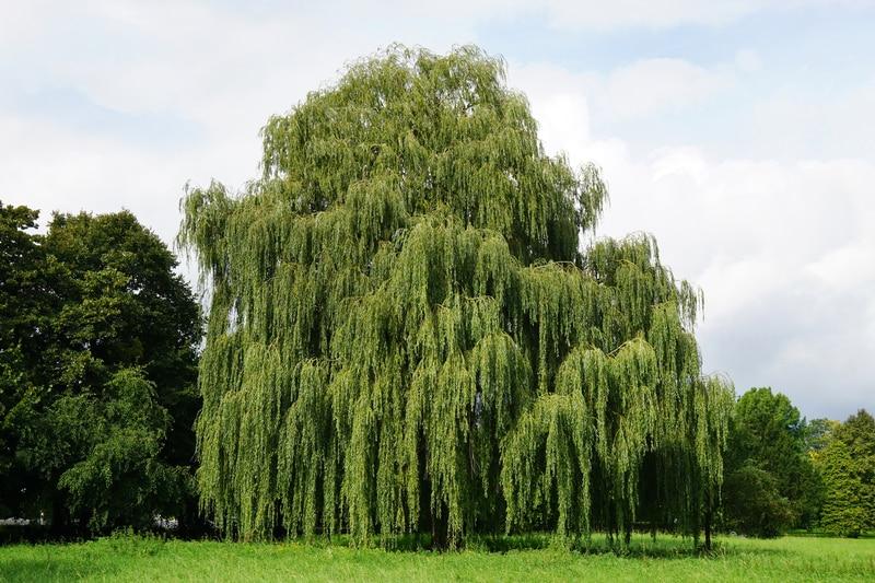 Rüyada Küçük Söğüt Budanmış Ağacı Bahçede Görmek
