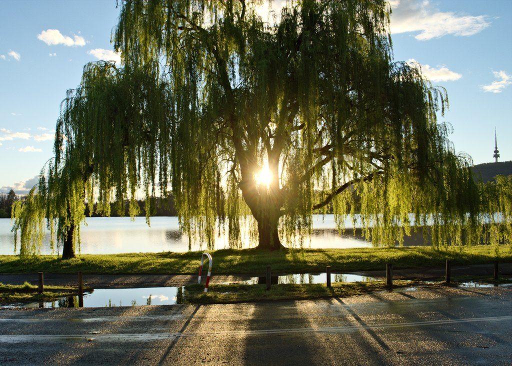 Rüyada Büyük Söğüt Ağacı Görmek