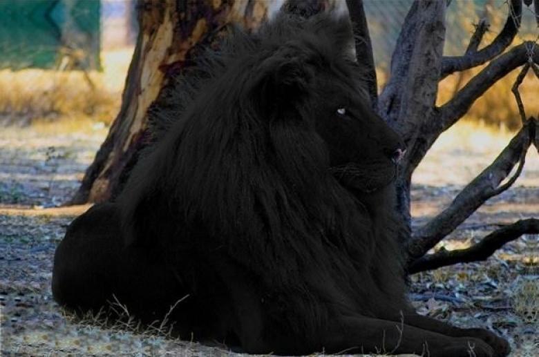 Rüyada Siyah Aslan Görmek ve Bakmak